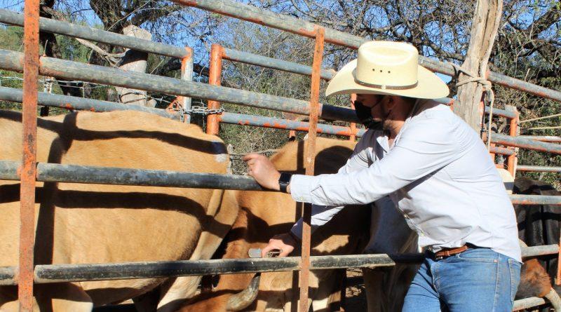 Continúan programas de alimento y vacunación en apoyo al sector ganadero